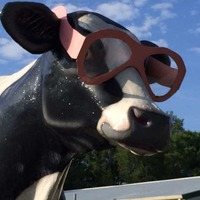 cow with glasses